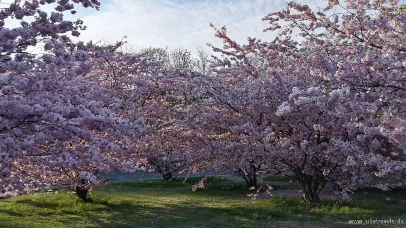 07_Kirschblüten.jpg