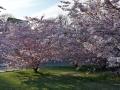 08_Kirschblüten.jpg