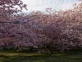 KirschblütenPano.JPG
