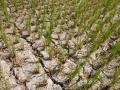 Reispflanzen in Bali
