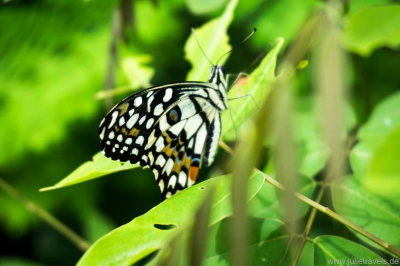 schwarz-weißer Schmetterling