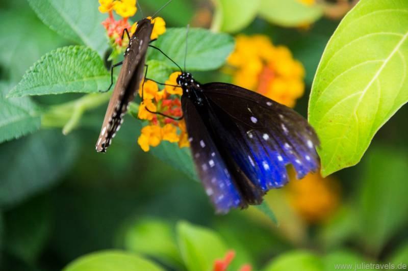 blau-schwarzer Schmetterling