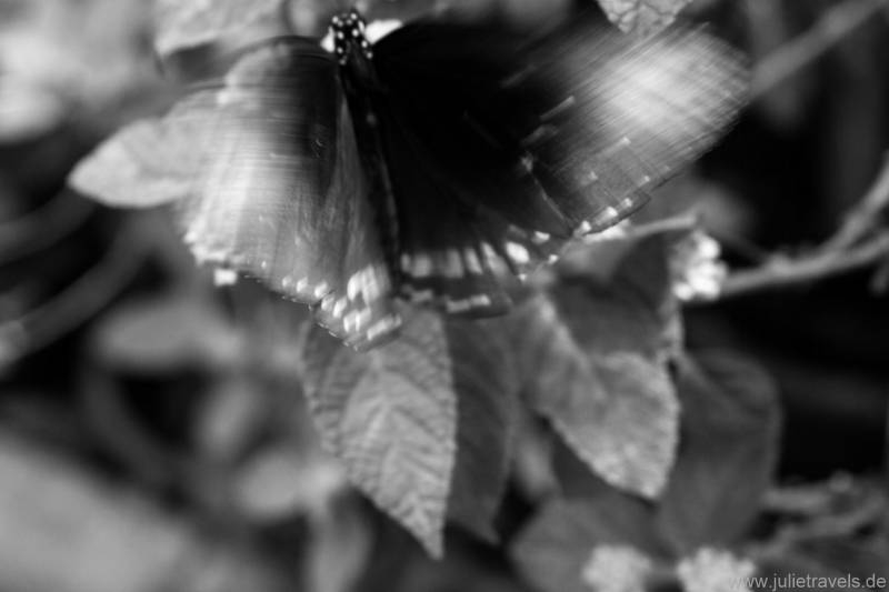 Schmetterling schwarz/weiß