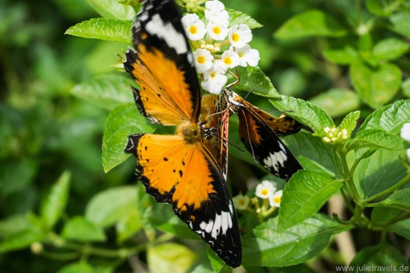 orangener Schmetterling