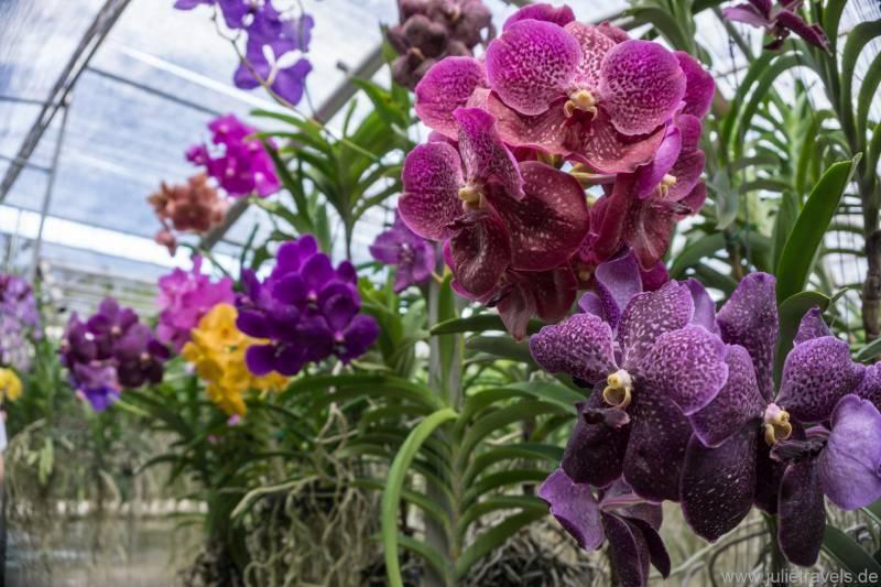 purpurne Orchideen